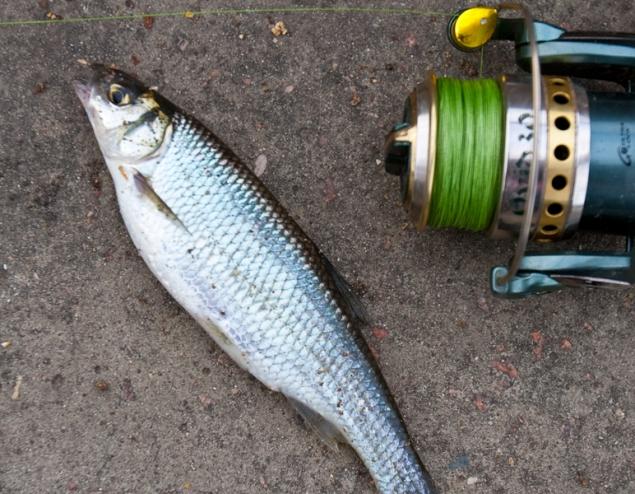 меласса на рыбалку