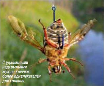 Как насадить на крючок майского жука и
